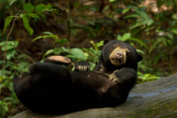 Sun Bear in Borneo